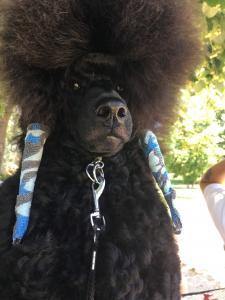 Black medium poodle